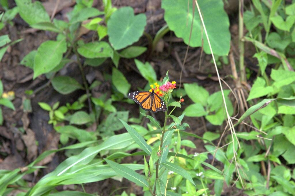 Ein Schmetterling am Wegesrand. Hier in dieser Region trifft allerlei exotische Tiere.