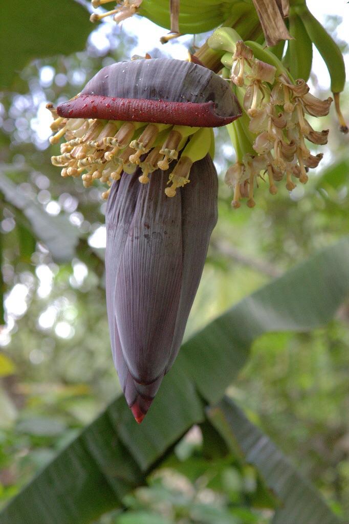 Bananenblüte. Wunderschön.